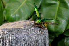 Insectos de vuelo suaves borrosos del buprestoidea, aequisignata de Sternocera imagen de archivo