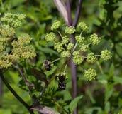 Insectos en angélica de la montaña Fotografía de archivo libre de regalías