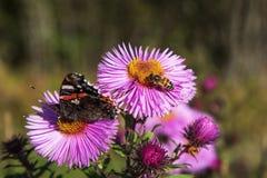 Insectos en asteres Foto de archivo libre de regalías