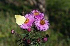Insectos en asteres Imagen de archivo