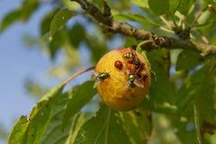 Insectos en ciruelos y fruta Imagen de archivo libre de regalías
