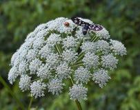 Insectos en el polen en las flores de la manzanilla Foto de archivo libre de regalías