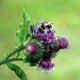 Insectos en el trabajo que busca el néctar Fotografía de archivo libre de regalías