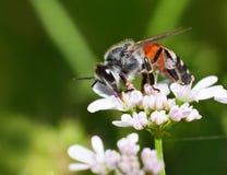Insectos en la flor blanca Foto de archivo