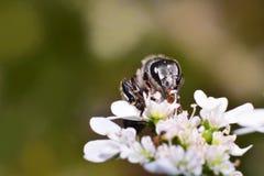 Insectos en la flor blanca Fotografía de archivo