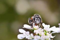 Insectos en la flor blanca Imagenes de archivo