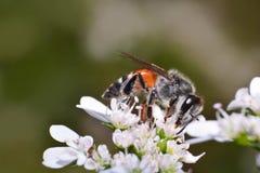 Insectos en la flor blanca Fotografía de archivo libre de regalías