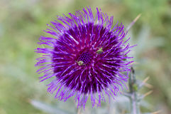 Insectos en la flor del cardo Foto de archivo