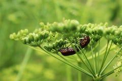 Insectos en la planta del perejil Foto de archivo libre de regalías