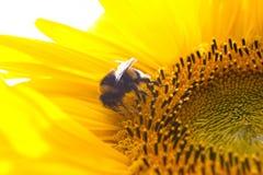 Insectos en las flores del verano Fotografía de archivo