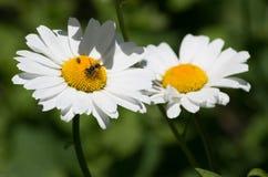 Insectos en margarita Imagen de archivo libre de regalías