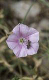 Insectos en una flor rosada Fotos de archivo libres de regalías