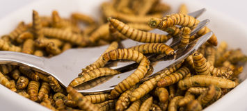 Insectos fritos, molitors imagenes de archivo