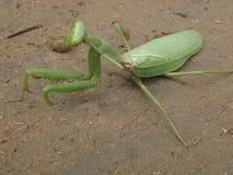 Insectos grandes Foto de archivo libre de regalías