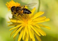 Insectos macros Fotografía de archivo libre de regalías