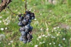 Insectos que comen las uvas Fotografía de archivo