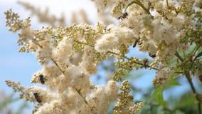 Insectos que polinizan las flores amarillo-blancas florecientes en rama Primer Vuelo de una abeja en la c?mara lenta de las flore