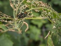 Insectos que se acoplan en la hoja destrozada Fotos de archivo