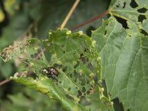 Insectos que se acoplan en la hoja destrozada Fotografía de archivo libre de regalías