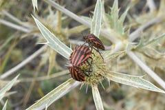 insectos Rojo-negros Foto de archivo