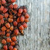 Insectos rojos Foto de archivo