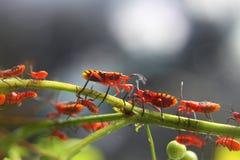 Insectos rojos Foto de archivo libre de regalías