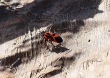Insectos rojos Fotos de archivo libres de regalías
