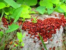 Insectos rojos Fotografía de archivo