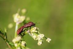 Insectos rojos de acoplamiento en la flor Foto de archivo libre de regalías