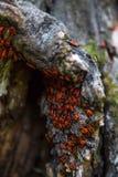Insectos rojos de la familia en la corteza de un árbol Imagen de archivo