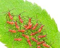 Insectos rojos del insecto de rueda Fotos de archivo libres de regalías