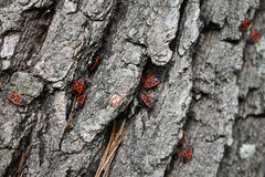 Insectos rojos en una corteza gris Fotografía de archivo