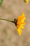 Insectos rojos en una flor amarilla Fotografía de archivo libre de regalías