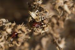 Insectos rojos en una flor marchitada Imagen de archivo