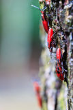 Insectos rojos gigantes Foto de archivo libre de regalías