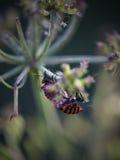 Insectos rojos que acoplan macro Foto de archivo