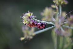 Insectos rojos que acoplan macro Imagenes de archivo