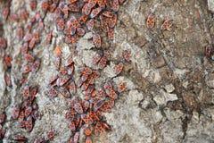 Insectos rojos y negros Fotos de archivo libres de regalías