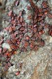 Insectos rojos y negros Foto de archivo