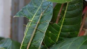 Insectos tropicales exóticos en el terrario de Tailandia Insectos de Asia metrajes