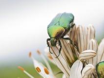 Insectos verdes y lilly Foto de archivo libre de regalías