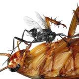 Insectos y sus enemigos nativos Control de parásito imagen de archivo libre de regalías