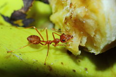 Insects, ants Stock Images