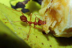 Insects, ants Royalty Free Stock Photo