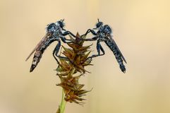 Insects Asilidae stock images