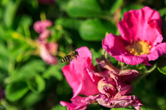 Insects,bee, Stock Image