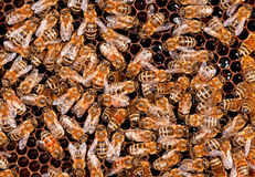 Insects bee working Stock Photography