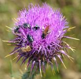 Thistle bees and insects. Insects and bees on the camel thorn plant. they & x27;re collecting plant extract thistle weed aryan vermin pollen self collection royalty free stock images