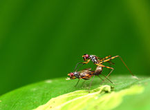 Insects breeding Royalty Free Stock Photography