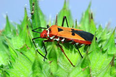 Insects on a bright orange. Flower with sharp thorns Stock Photography